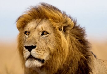 Cecil The Lion 12